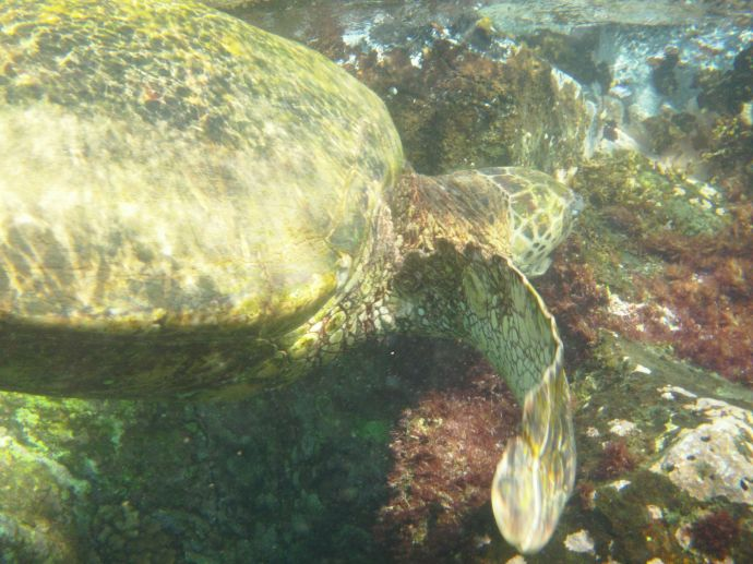 Turtle eating algae