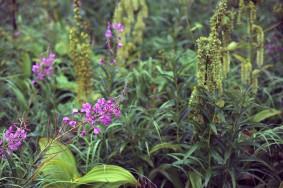 Chamaenerion angustifolium (Fireweed) & Oplopanax horridus (Devil's Club)