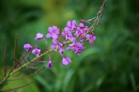 Chamaenerion angustifolium (Fireweed)